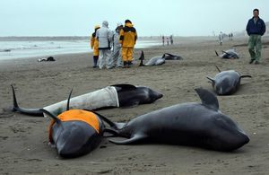 beached whales japan