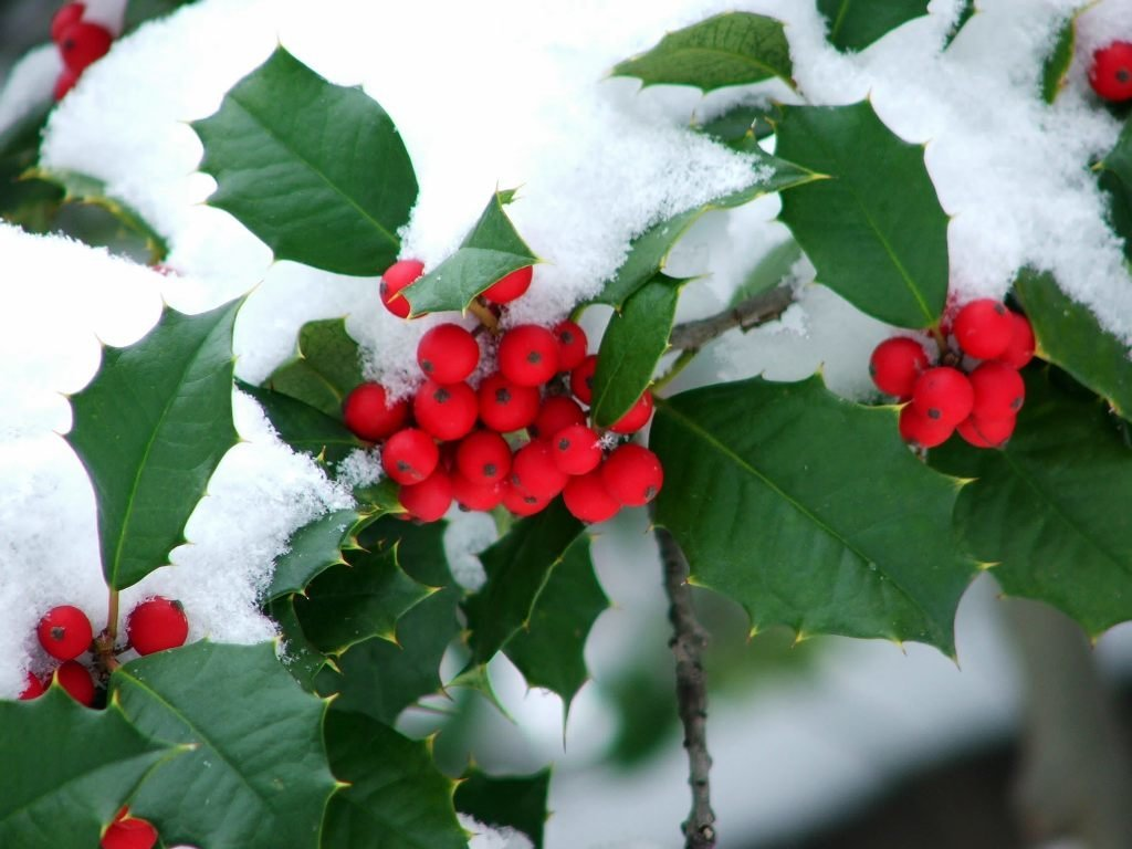 How Holly, Ivy And Mistletoe Became Associated With
