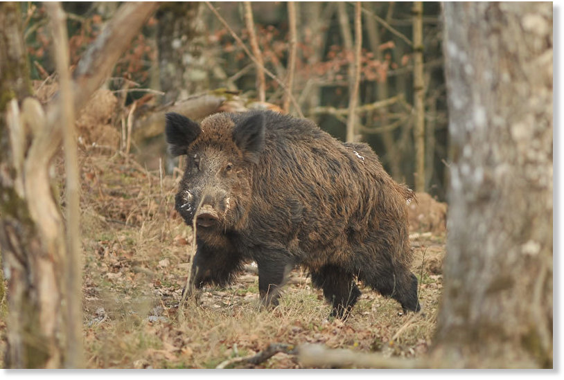 Wild Boar Attacks Human Boar attacks elderly m...