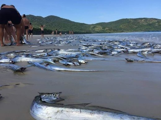 Thousands of swordfish found dead on Lopes Mendes beach, Brazil