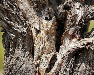Owl The power of camouflage