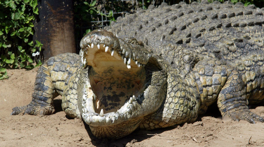 Giant Nile Crocodiles That Kill Livestock And People In