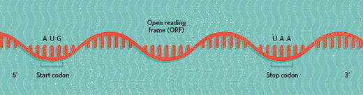 RNA open reading frames