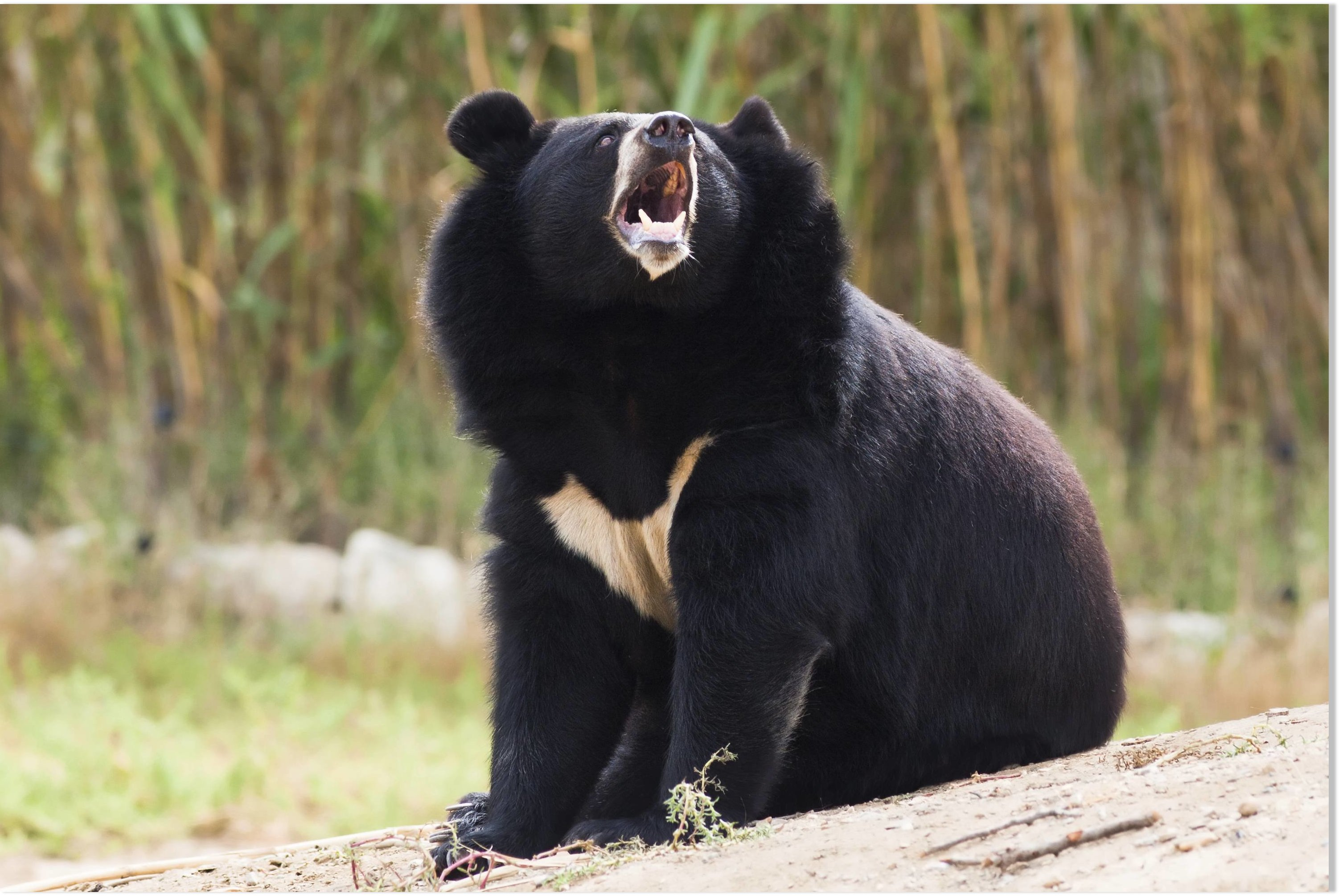 Http Www Sott Net Article 325648 Black Bear Kills Safari Park Worker In Her Car In Japan