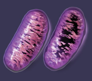 "Mitochondrial ""collateral damage"""