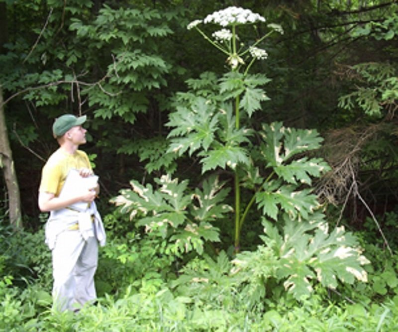 Dangerous Plant Giant Hogweed Here S What You Need To