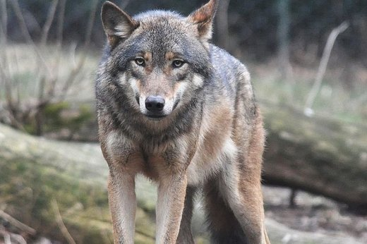 Wolves losing their natural fear of humans? Several attacks reported in 2016 across Canada