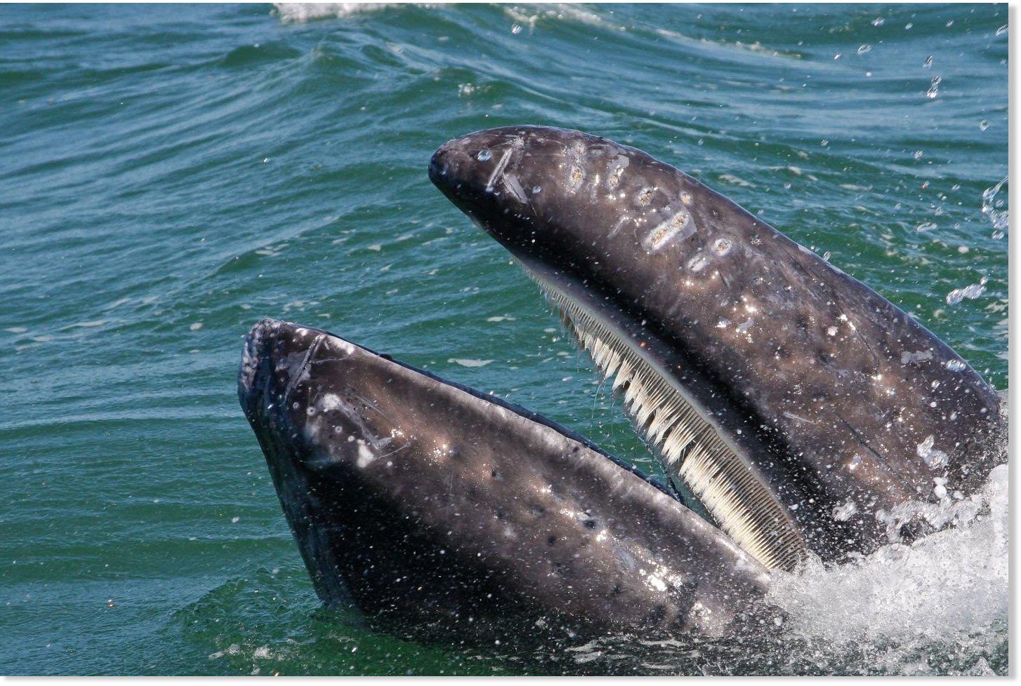 Baleen Whales Teeth