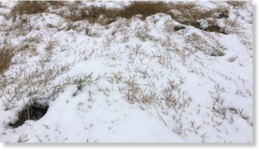 Canola crops at Jacqueline Laniuk's farm in Vegreville have been flattened by the snow.