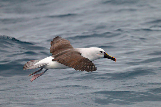 Yellow-nosed albatross from the southern hemisphere makes rare appearance on Cape Cod, Massachusetts