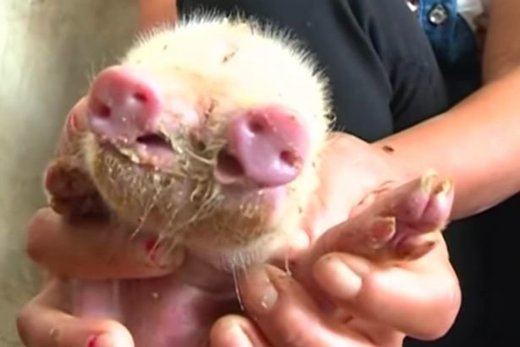 Signs and Portents: Video shows 'mutant' pig with two snouts and three eyes born in China