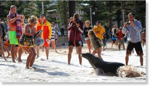 Experts say people got way too close when the seal beached at Manly.