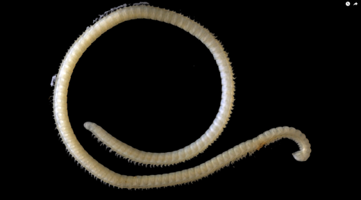 Newly discovered millipede boasts 200 poison glands and 414 legs