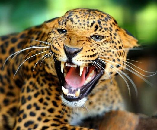 Man killed by leopard in Himachal Pradesh, India