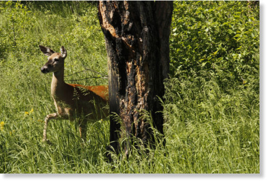 South Dakota Game, Fish and Parks Department issued more deer licenses this year than it did last year. Due to an outbreak fear of deer numbers being down