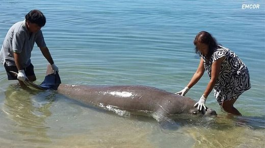 Last remaining dugong in the Gulf of Thailand found dead