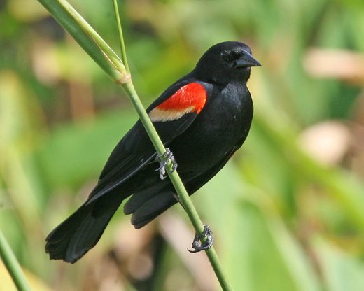 What killed up to 300 red-winged blackbirds in Cumberland County, New Jersey?