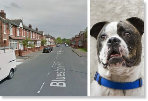 The incident happened in Manchester involving what's thought to be an American Bulldog, like the one here (NOT the actual dog)
