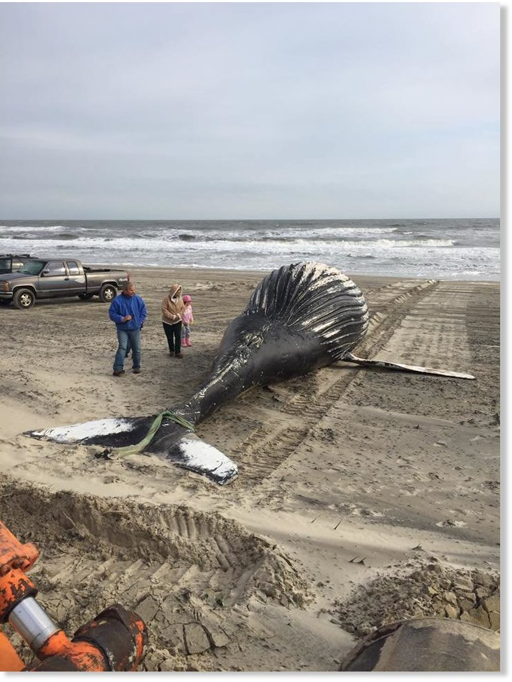 Dead Whale Found On Carova Beach North Carolina