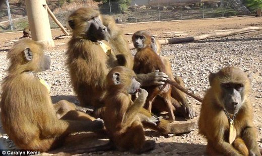 How baboons make five vowel-like sounds, just like humans: Discovery could mean the origin of speech is much older than we think