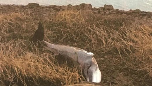 Dead minke whale washes ashore in Flushing Bay, New York
