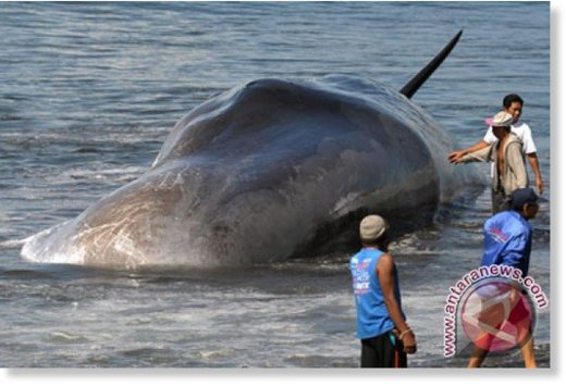 Photo document of whale stranded in Batu Tumpeng, Klungkung, Bali, on Monday (Jan. 14th, 2016).