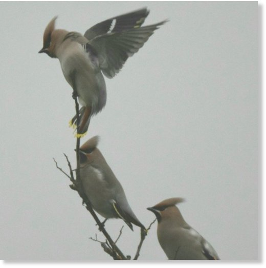 Waxwings mostly feed on fruit.