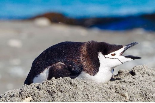 Chinstrap penguin makes rare 1500-kilometre trip from Antarctica to Macquarie Island