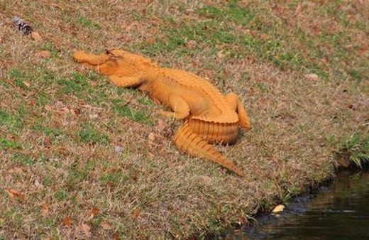 https://www.sott.net/image/s18/376806/large/Orange_Alligator.jpg
