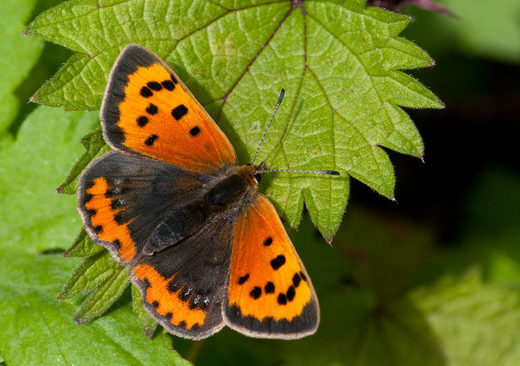 Study: Britain's urban butterfly population decreases 69% in 20 years