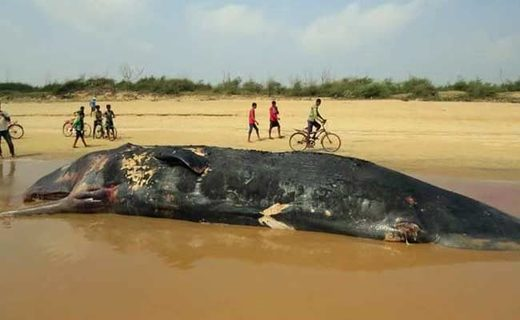 Second time in 3 months dead whale found on beach in Odisha, India
