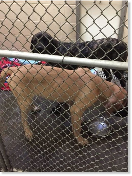 The young English mastiffs that killed a 5-year-old boy in Clarksville Thursday