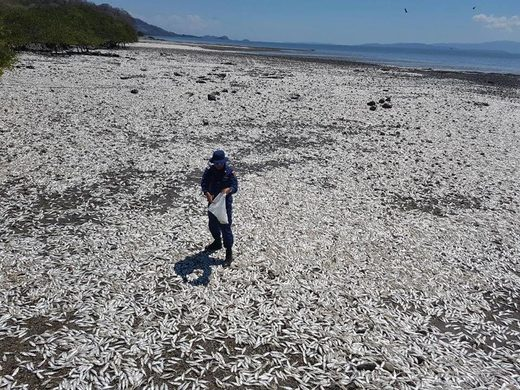 Thousands of dead fish found near Manzanillo, Costa Rica