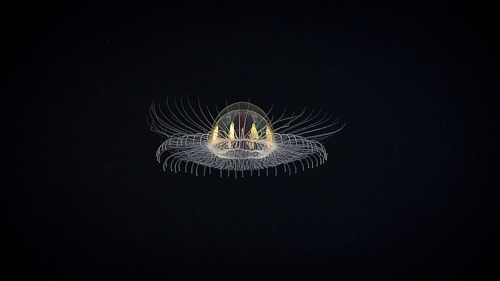 Deep ocean expedition spots mysterious 'cosmic' jellyfish ... Pacific Ocean Underwater Volcanoes