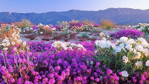 "Heavy California rains result in desert ""superbloom"" at Anza-Borrego Desert State Park"