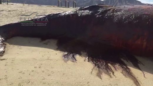 Humpback whale washes up dead in Baja California, Mexico