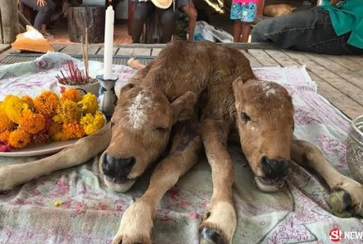 Signs and Portents: Two-headed calf born in Krabi, Thailand