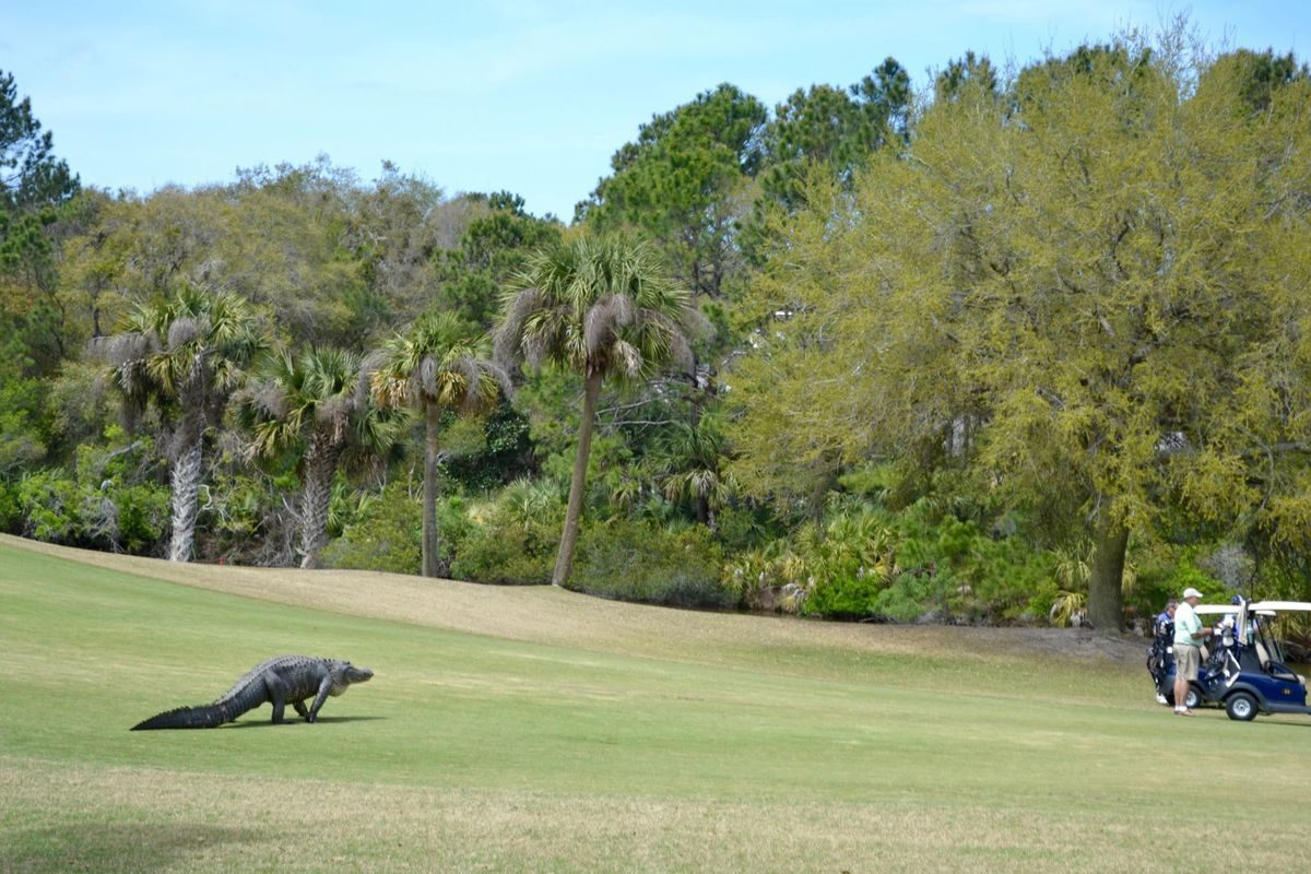 Large Alligator Snuck Up On Golfers At Kiawah Island Golf