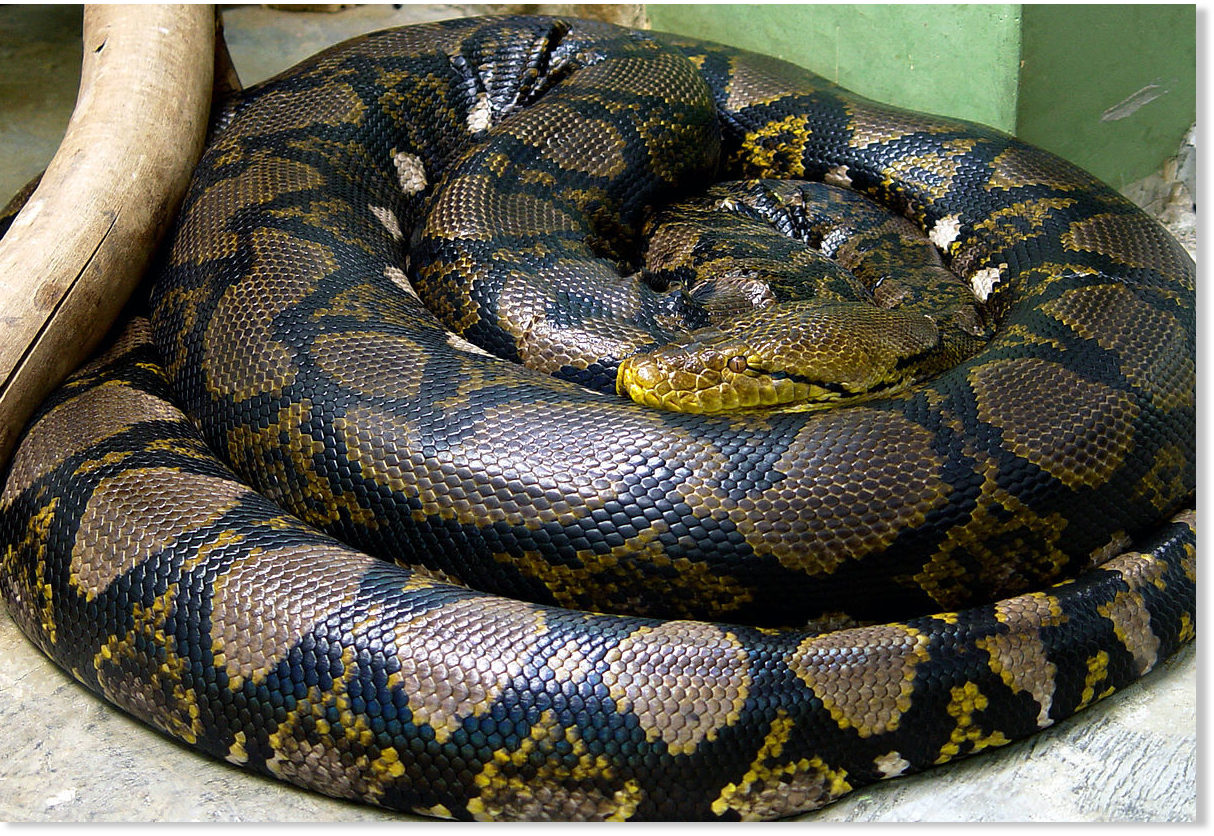 Indonesian woman cut from belly of giant python after she