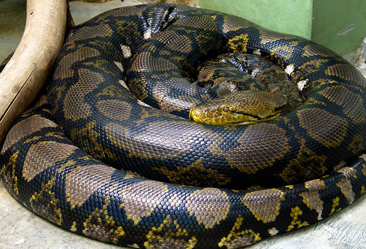 Man swallowed whole by 23-foot reticulated python in Sulawesi, Indonesia