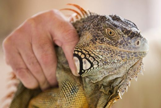 Green iguanas overrunning South Florida suburban neighborhoods