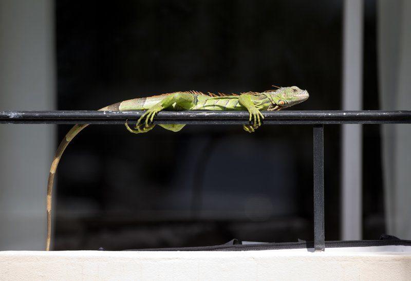 Green iguanas overrunning south florida suburban for Salmonella swimming pool