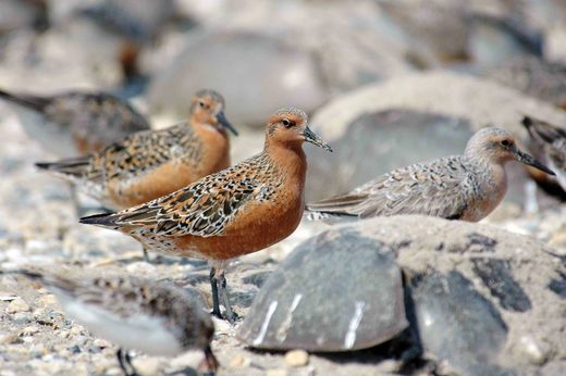 Rare Arctic birds delay migration north from Andhra Pradesh, India