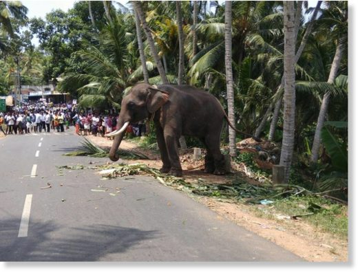 An elephant brought for a temple festival ran amok and killed its mahout.