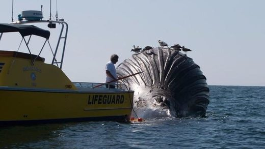 Lifeguards try to stop humpback whale carcass from reaching shore at Newport Beach, California