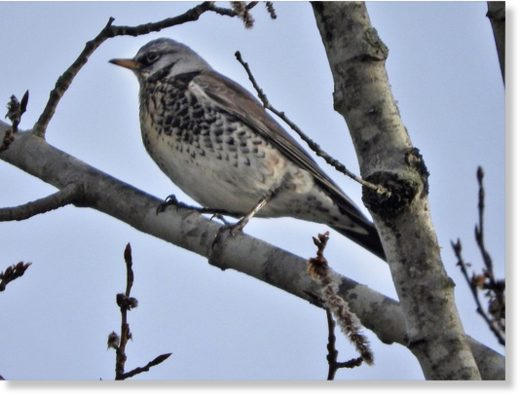 This fieldfare, a species typically seen in Europe and Asia, was spotted this week in Newcastle.