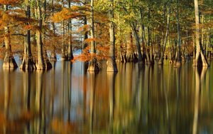 Cypress trees in Horseshoe Lake Nature Preserve