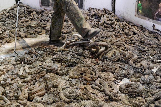 Unnecessary Killing Rattlesnake Slaughter Festivals