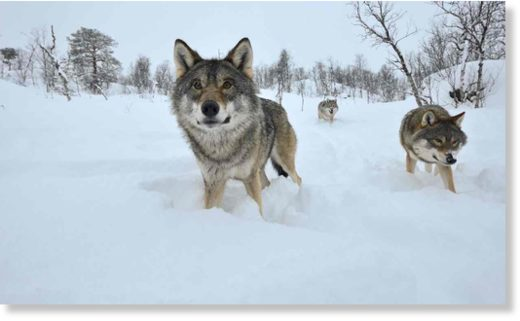 Wolves are returning to well-peopled landscapes after centuries of persecution.