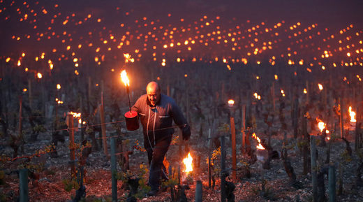 Frost damage to French vineyards